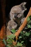 Koalamomen med behandla som ett barn Arkivbild