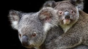 Koalamutter tragendes joey auf ihr zurück lizenzfreies stockfoto
