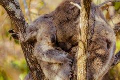 Koalamutter und -baby, die zusammen streicheln stockbild