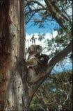 Koalamutter und -schätzchen Lizenzfreie Stockfotos