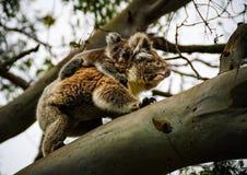 Koalan med behandla som ett barn otway Arkivbild