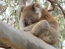 Koalan som ta sig en tupplur i en eukalyptus i dig regionala Yangs, parkerar, Australien Royaltyfria Bilder