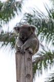 Koalan sover på trädet royaltyfria foton