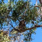 Koalanederlaghöjdpunkt in på eukalyptusträdet Australien känguruö royaltyfria foton