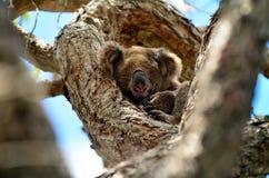 Koalasömn på ett träd Royaltyfri Fotografi