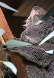 Koalas Stock Photo