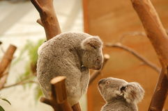 Koalas Royalty Free Stock Photo