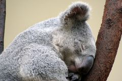 Koalas Royalty Free Stock Photos