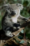 Koalas Stock Photos