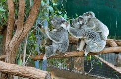 Koalas in compound eating eucalyptus leaves including mother with baby on her back stock image