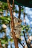 Koalas  at Currumbin Wildlife Park Stock Photos