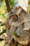 Koalas  at Currumbin Wildlife Royalty Free Stock Image