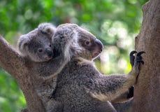 Koalas de la madre y del bebé Fotos de archivo libres de regalías
