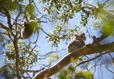 Koalas on eucalyptus tree Royalty Free Stock Photo