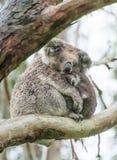 Koalas Stock Images