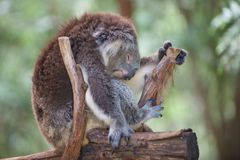A koalas life is so tiring. A koala sleeps on a branch in Koala forest at the Healesville Sanctuary just outside of Melbourne, Australia. The sanctuary is doing Royalty Free Stock Images