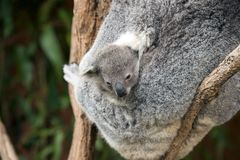 Koalas (Phascolarctos cinereus) in Australia Royalty Free Stock Photography