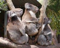 Koalas Stock Image