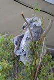 Koalas, Phascolarctos cinereus. Wildlife Sydney Zoo. New South Wales. Australia Stock Photography