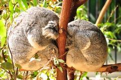 Koalas su un albero Fotografia Stock
