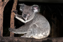 Koalasammanträde på en trädfilial Arkivfoto