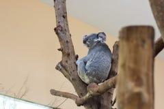 Koalaschlafen Lizenzfreies Stockfoto
