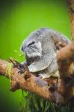 Koalaslaap in Boom Royalty-vrije Stock Fotografie