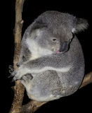 Koalatong Stock Foto