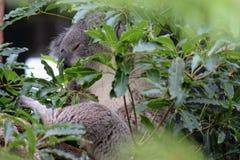 Koalaträume stockbild