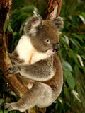 koalatree Royaltyfri Foto