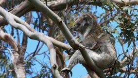 Koalazitting in een ongebruikelijke positie in een boom dichtbij de grote Oceaanweg stock video
