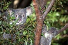 Koale nell'albero di eucalyptus Immagini Stock