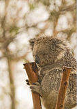 koali niedźwiadkowy drzewo Zdjęcia Stock