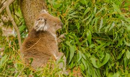 Koali obsiadanie wśród eukaliptusowych liści Fotografia Stock