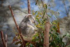 Koali obsiadanie w drzewie Zdjęcia Stock