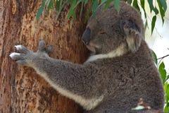 Koali obwieszenie na eukaliptusowym drzewie podczas gdy śpiący zdjęcia royalty free