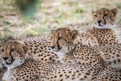 Koalicja gepardy kłaść w piasku fotografia royalty free