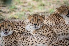 Koalicja gepardy kłaść w piasku zdjęcie stock