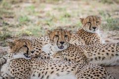 Koalicja gepardy kłaść w piasku obrazy stock