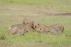 Koalicyjni braci gepardy walczy dla zwłoki przy Masai Mara gry rezerwą, Kenja obrazy stock