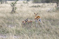 Kob family, Queen Elizabeth National Park, Uganda. Female kob antelope with two offspring in tall grasses of Ishasha district of Queen Elizabeth National Park Stock Images
