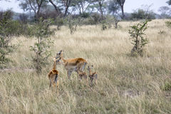 Kob female antelopes and offspring, Queen Elizabeth National Par. Female kob antelopes with two offspring in tall grasses of Ishasha district of Queen Elizabeth Stock Images