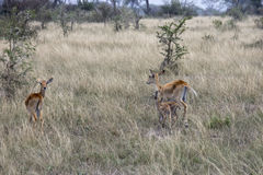 Kob females and offspring, Queen Elizabeth National Park, Uganda Stock Photography