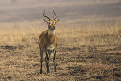 KOB male standing in the savannah among burned grass in the dry Stock Photos