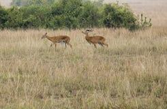 Kob in mating grounds Queen Elizabeth National Park, Uganda. Kob antelope on mating grounds in Queen Elizabeth National Park, Uganda, Africa Stock Photography