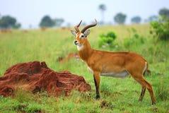 Kob, Uganda race. African antelope Kob (Kobus kob) in the Murchison Falls national park, Uganda stock images