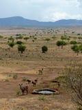 Kob and warthogs. In NP Kidepo, Uganda Royalty Free Stock Photography