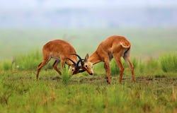 Kobe antilop slåss på den afrikanska grässlätten Royaltyfria Bilder