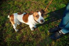 Kobiet nogi Russell Terrier w parku i psi Jack Zdjęcia Royalty Free