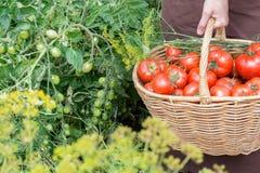 Kobiet próchnic pomidory w koszu przez jarzynowego ogród Zdjęcia Royalty Free